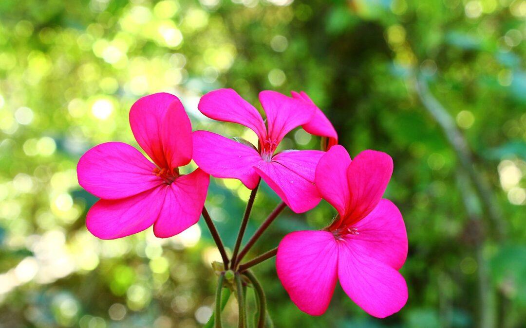 Beautify With Geranium Oil